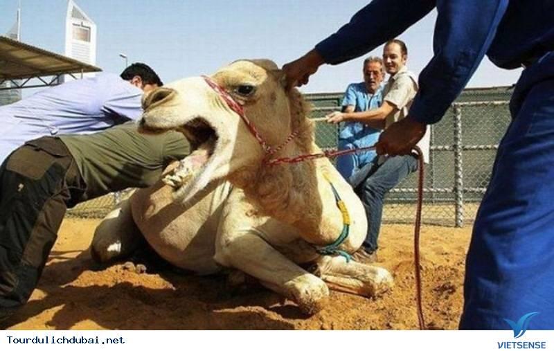 Lạc đà nhồi thịt – ngon độc lạ chỉ có ở Dubai - Ảnh 3