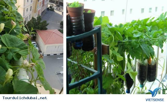 Vườn rau xanh tại Dubai của kỹ sư Việt Nam - Ảnh 4